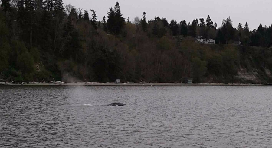 "How to Spot Gray Whales ""Going Wild"" On Their Spring Break Near Whidbey Island"