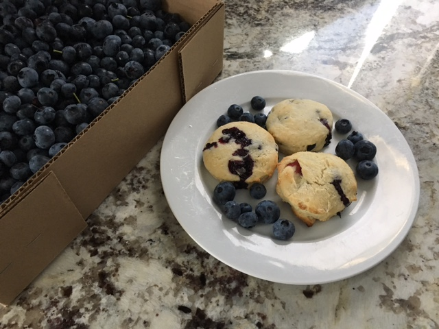 Getting Picky:  It's Blueberry Picking and Scone Season!